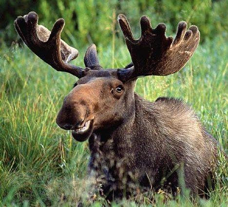 Moose Law